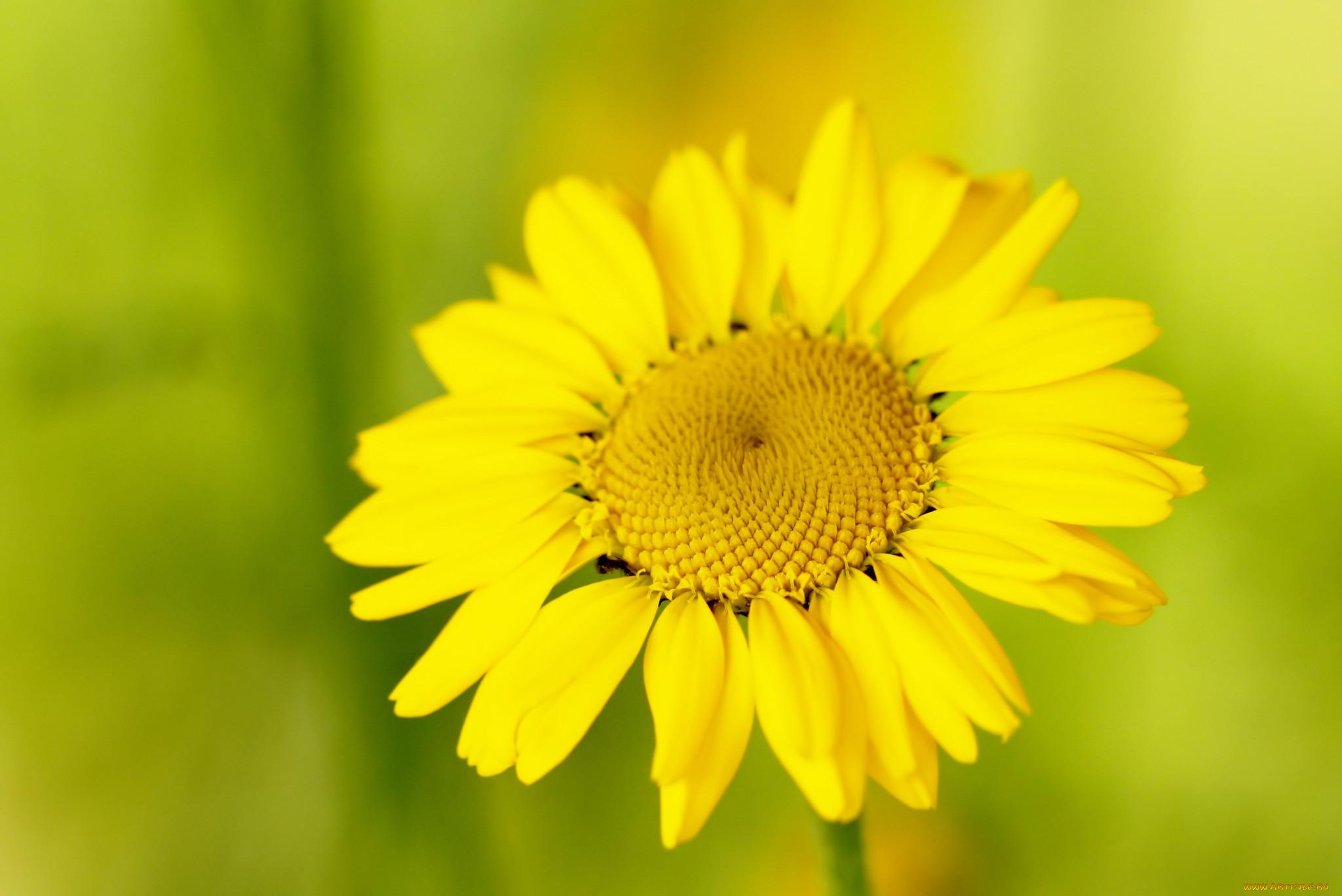Фото цветка желтого ромашки